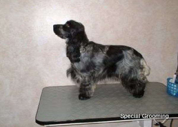 Trimschema Engelse Cocker Spaniel