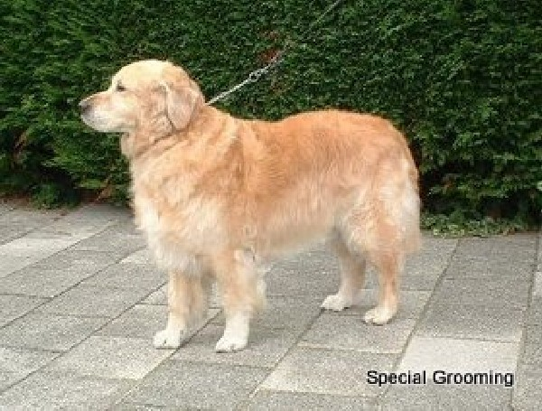 Trimschema Golden Retriever