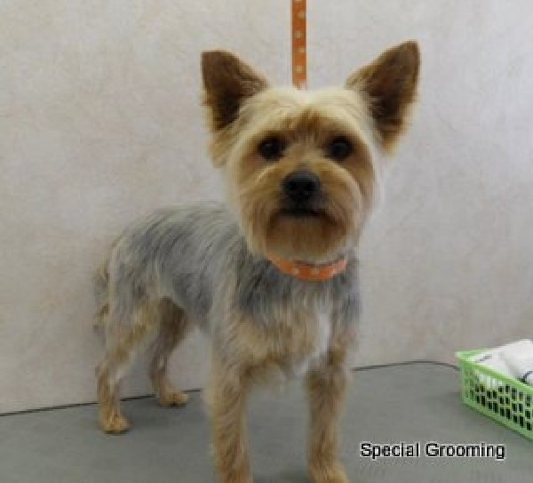 Trimschema Yorkshire Terrier